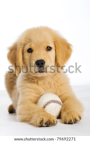 a cute Golden Retriever Puppy with a baseball. - stock photo
