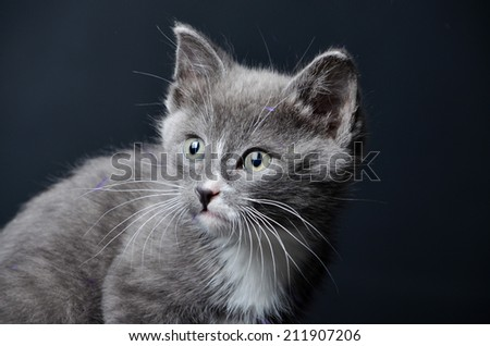 A cute grey kitten looking into the distance on an isolated black background - stock photo