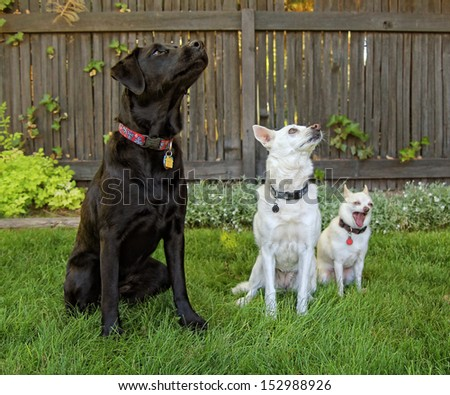 a cute group of chihuahuas and a black lab  - stock photo