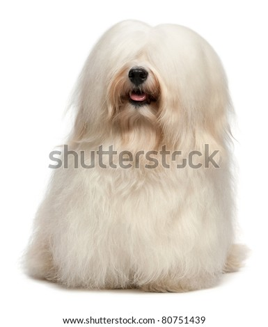 A cute happy sitting cream havanese male dog with long hair, isolated on white background - stock photo