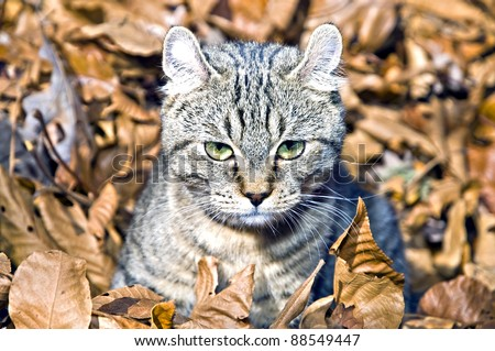 A cute Highland Lynx kitten in a pile of leaves. - stock photo