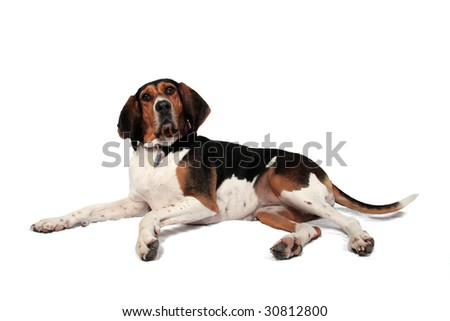 A cute hound dog in front of a white background - stock photo