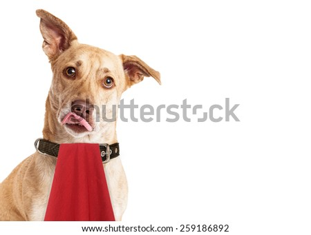 A cute hungry mixed breed dog wearing a red napkin while licking her lips - stock photo