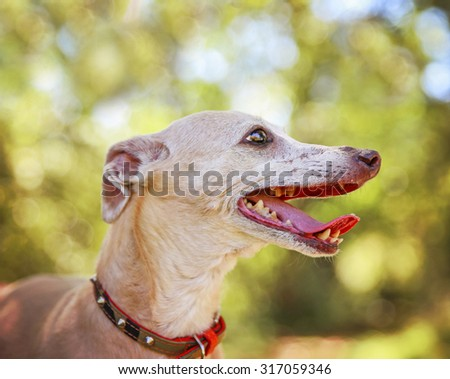 a cute italian greyhound dressed in a red sweater panting with her tongue out in a park setting during later summer or early fall on a sunny day  - stock photo