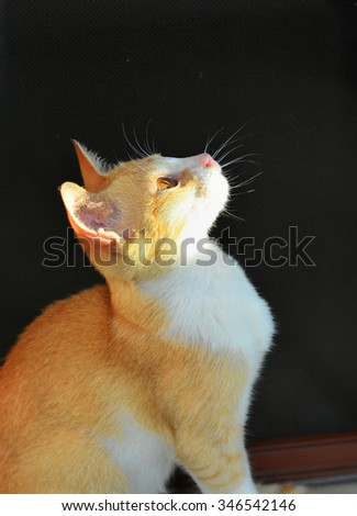 A cute kitten (Felis catus) looking up against black background. Ailurophobia - fear of cats.