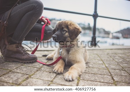 A cute Leonberger puppy and it's owner by the harbour - stock photo