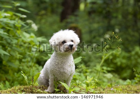 A cute little Bichon Frise female with beautiful expression in her head is sitting in the gree wood.