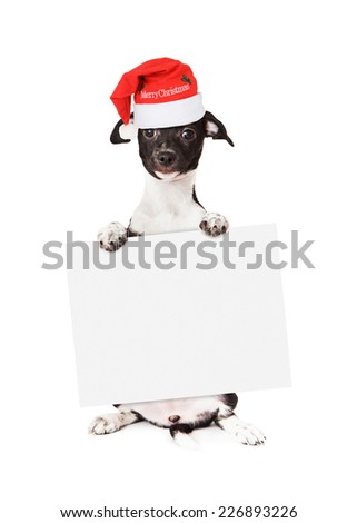 A cute little black and white mixed breed puppy wearing a red santa hat with the words Merry Christmas sitting up and holding a blank sign while looking at the camera. Isolated on a white background.  - stock photo