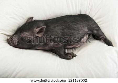 a cute little black pig sleeping - stock photo