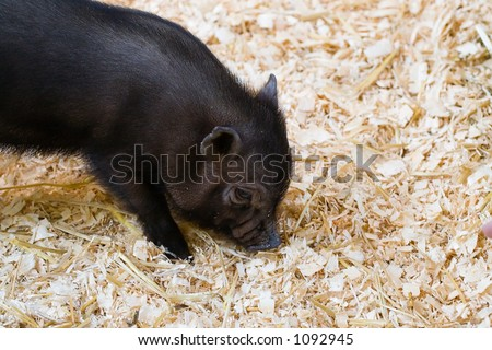 A cute little black pot bellied pig.