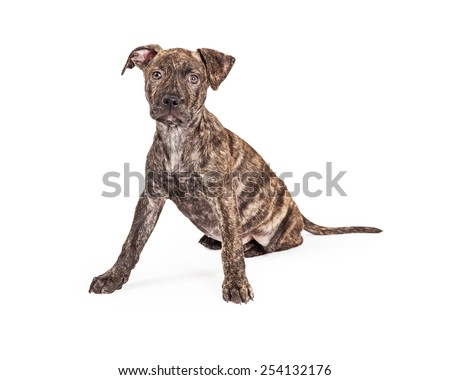 A cute little brindle coat four month old puppy dog sitting with front legs wide apart while looking at the camera - stock photo