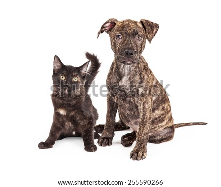 A cute little Brindle Puppy sitting next to a black and orange kitten  - stock photo