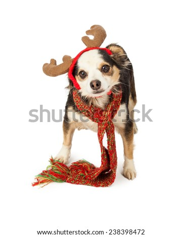 A cute little Chihuahua, Papillon and Terrier mixed breed dog wearing a Christmas scarf and reindeer antlers