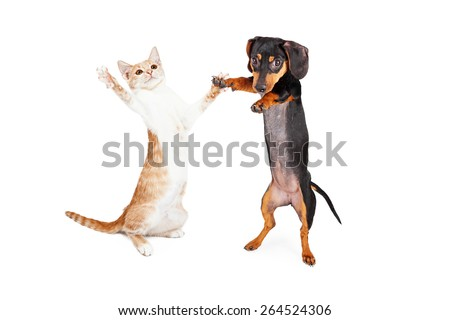 A cute little Dachshund breed puppy dog and a tabby kitten standing on their hind legs dancing together  - stock photo