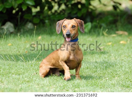A cute little Dachshund with funny facial expression sitting and staring in front of blurry green park background. - stock photo