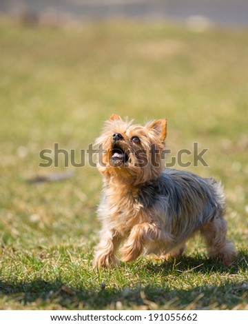 A cute little dog running in the grass looking up - stock photo