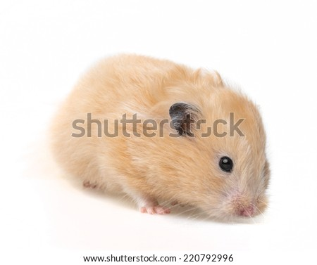 a cute little hamster on white background - stock photo