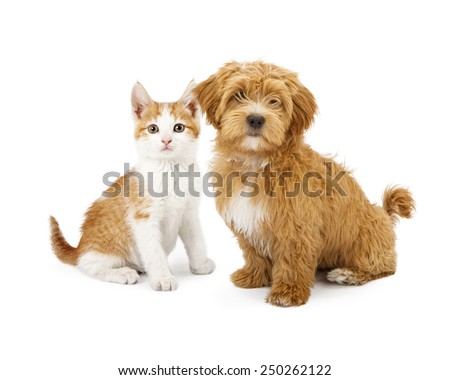 A cute little Havanese puppy and an orange tabby kitten sitting together - stock photo
