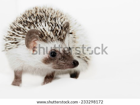 A cute little hedgehog - ( African white- bellied hedgehog )