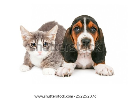 A cute little kitten and Basset Hound puppy laying together - stock photo