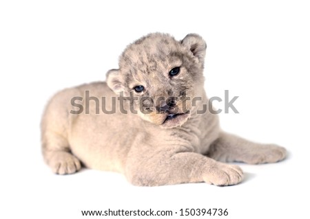 A cute little lion cub on the white background. - stock photo