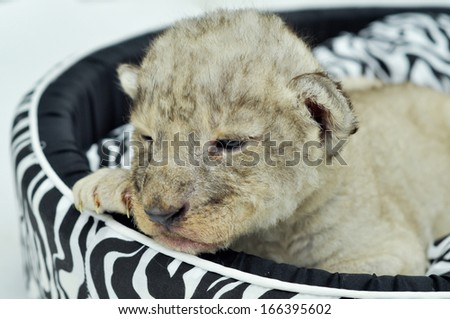 A cute little lion cubs on the black and white mattress. - stock photo