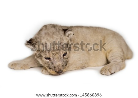 A cute little lion cubs on the white background. - stock photo