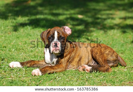 A cute little purebred brindle male Boxer puppy laying and staring with attentive facial expression.