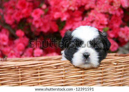 A cute little Shih Tzu puppy in a basket with a blooming Azalea bush as the background. - stock photo