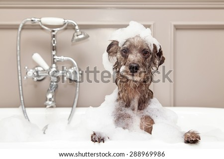 A cute little terrier breed dog taking a bubble bath with his paws up on the rim of the tub - stock photo