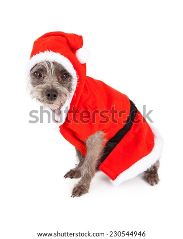A cute little terrier mixed breed dog sitting to the side while dressed in a Santa Claus outfit