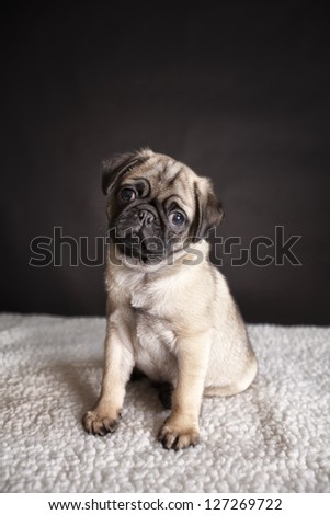 A cute little 9 week old pug puppy sitting. - stock photo
