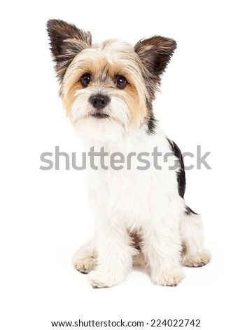 A cute little Yorkshire Terrier and Shih Tzu mixed breed dog sitting