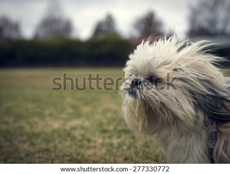 A cute, long-haired, ungroomed Shih Tzu dog facing into a strong wind closeup with lots of copy-space.
