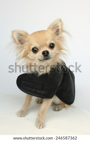 A cute longhair chihuahua dressed in a winter coat looking at camera - stock photo