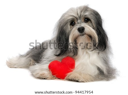 A cute lover valentine havanese boy dog with a red heart isolated on white background
