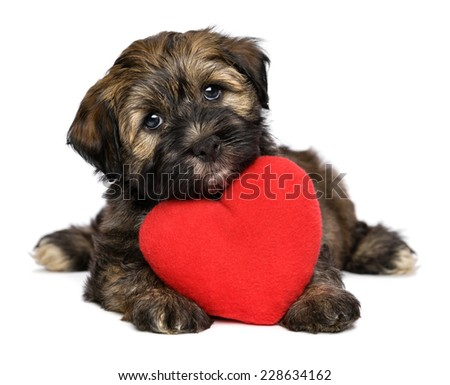 A cute lover valentine havanese puppy dog with a red heart is looking upward, isolated on white background
