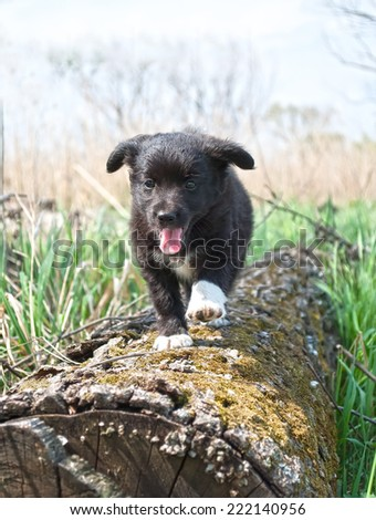 A cute male cream and black nosed Alsatian or German Shepard cross puppy or dog that has his paws resting on a log looking into the distance with nature in the background. - stock photo