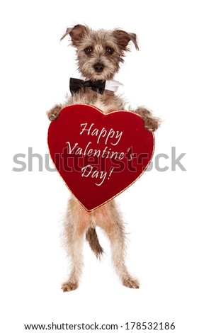 A cute male terrier mix breed dog wearing a black bow tie standing up and holding a big velvet heart shaped box of chocolates with the words Happy Valentines Day  - stock photo