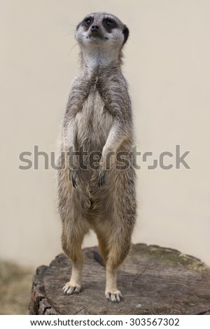A cute meercat standing up against a plain background facing forward - stock photo