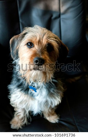 A cute mixed breed Borkie dog. The dog is half beagle and half yorkshire terrier. - stock photo