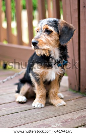 A cute mixed breed borkie puppy sitting on the deck. The dog is half beagle and half yorkshire terrier. Shallow depth of field. - stock photo