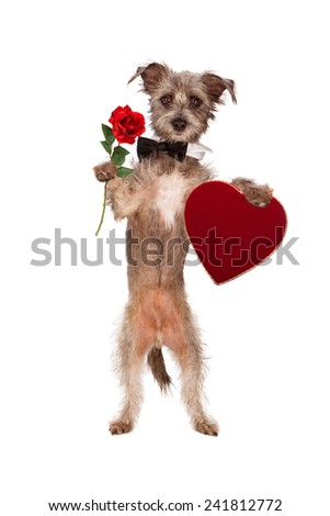 A cute mixed terrier breed dog wearing a black bow tie standing up against a white backdrop while carrying a single red rose and a heart shaped velvet box of Valentine's Day chocolates - stock photo