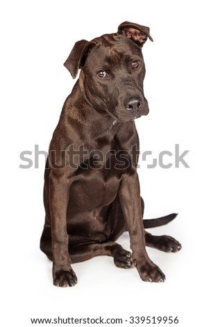 A cute one year old dark brown color Labrador Retriever and Pit Bull mixed breed dog sitting on white background - stock photo