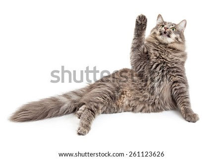 A cute playful cat raising up a paw and looking up at an object above him that is out of the frame - stock photo