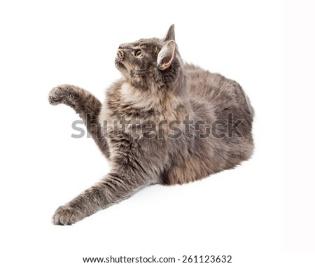 A cute playful grey color domestic cat looking to the side and lifting a paw to bat at an object - stock photo