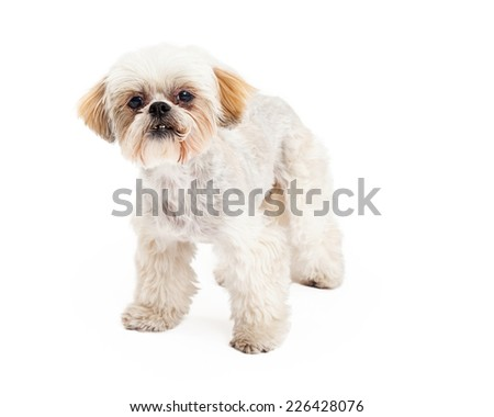 A cute Poodle and Maltese Mix Breed Dog standing while looking forward.  - stock photo