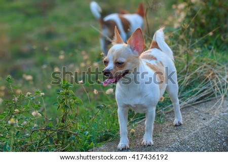 A cute puppy, dog, chihuahua Naughty ,pets, animals, nature. - stock photo