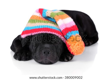 A cute puppy is sleeping in a cap on a white background - stock photo
