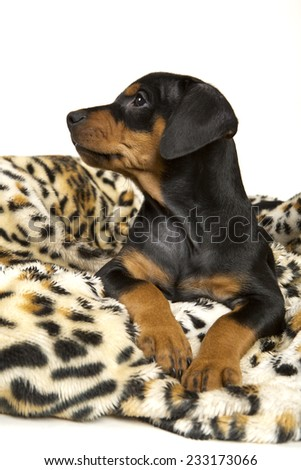 A cute purebred black and tan German Pinscher puppy curiously looks up from his cuddly tigered fluffy blanket. - stock photo